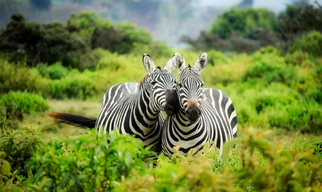 kenya-safari-zèbres-animaux-sauvages